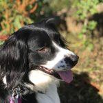 Australsk Shephard søger nyt hjem