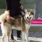 Alaskan Malamute søger nyt hjem