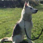 Siberian Husky/Hvid hyrdehund søger nyt hjem!